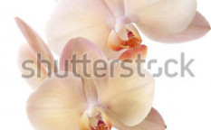 Stock-photo-gorgeous-cream-colored-phalaenopsis-orchid-flower-over-white-background-57112930