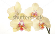 Stock-photo-gorgeous-light-yellow-orchid-flower-over-white-background-phalaenopsis-genus-56526076