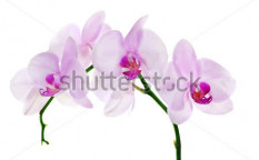 Stock-photo-light-pink-orchid-flowers-isolated-on-white-background-104340170