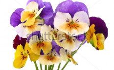 Stock-photo-little-bouquet-of-pansy-flowers-99065189