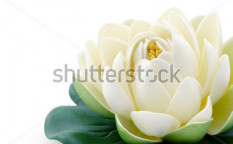 Stock-photo-lotus-flower-40821406