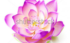 Stock-photo-lotus-flower-65605807