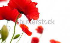Stock-photo-many-red-poppies-isolated-on-a-white-background-angle-of-a-page-53323411