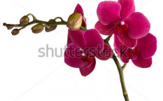 Stock-photo-maroon-orchid-isolated-on-a-white-104206349