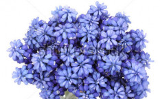 Stock-photo-muscari-hyacinth-isolated-on-white-119695300
