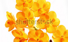 Stock-photo-orange-orchid-67756015