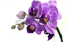 Stock-photo-orchid-68574478