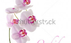 Stock-photo-orchid-flower-on-white-58445014
