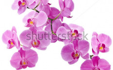 Stock-photo-orchid-flowers-isolated-on-white-background-123228046