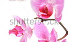 Stock-photo-orchid-flowers-on-branch-isolated-white-background-90641023