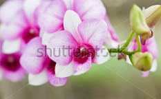 Stock-photo-orchid-in-farm-thailand-82739383