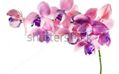 Stock-photo-orchid-isolated-on-a-white-background-phalaenopsis-116756494