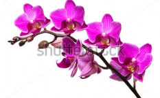 Stock-photo-orchid-isolated-on-white-background-24240847