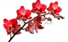 Stock-photo-orchid-isolated-on-white-background-65264830