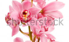 Stock-photo-orchid-isolated-on-white-background-75008425