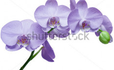 Stock-photo-orchid-isolated-on-white-background-88305835