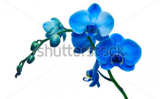 Stock-photo-orchid-isolated-on-white-background-98408732