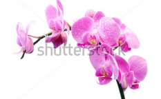 Stock-photo-orchid-on-a-white-background-98136815