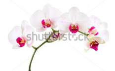 Stock-photo-orchid-on-the-white-background-96703741