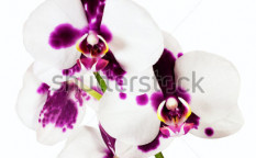 Stock-photo-orchid-on-white-background-119812606