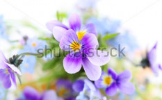 Stock-photo-pansies-on-white-background-floral-border-54840931