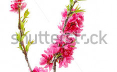 Stock-photo-peach-blossom-flower-isolated-on-white-background-99491390
