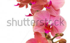 Stock-photo-pink-orchid-branch-126160814