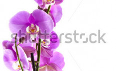 Stock-photo-pink-orchid-close-up-for-background-use-90259006