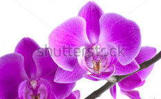Stock-photo-pink-orchid-flower-isolated-on-white-background-65297692