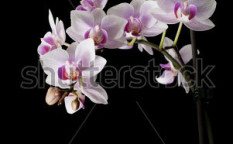 Stock-photo-pink-orchid-isolated-on-a-black-background-75144007