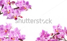 Stock-photo-pink-orchid-isolated-on-white-118347271