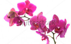 Stock-photo-pink-orchid-isolated-on-white-126494522