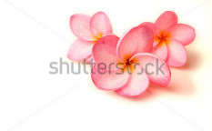 Stock-photo-plumeria-on-a-white-background-51435433