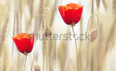 Stock-photo-poppies-69251659