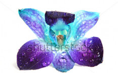 Stock-photo-purple-and-blue-orchid-flower-with-waterdrop-isolated-on-white-13646311