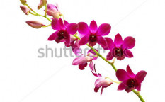 Stock-photo-purple-orchid-close-up-on-white-background-114504988