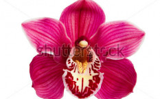 Stock-photo-purple-orchid-flower-isolated-on-white-background-97385546