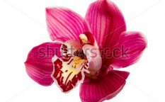 Stock-photo-purple-orchid-flower-isolated-on-white-background-97395428
