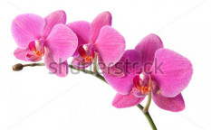 Stock-photo-purple-orchid-on-white-background-66334657