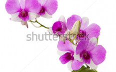 Stock-photo-purple-orchid-with-fresh-water-dew-on-white-background-115362481