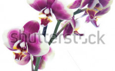Stock-photo-purple-white-orchid-blossoms-104972774