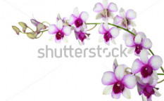 Stock-photo-purple-white-orchid-on-white-background-114257995