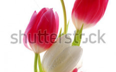 Stock-photo-red-and-white-tulips-103831733
