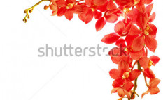 Stock-photo-red-fresh-orchid-flower-border-isolated-on-white-background-80334925