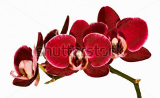 Stock-photo-red-orchid-isolated-on-white-background-28208425