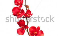 Stock-photo-red-orchid-on-white-background-47375863