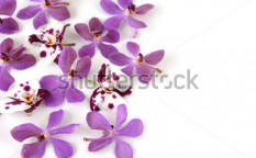 Stock-photo-speckle-orchid-and-pink-orchid-on-white-55985338