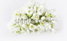 Stock-photo-spring-snowdrop-flower-73283830