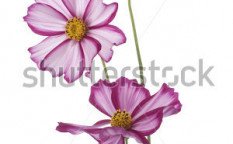 Stock-photo-studio-shot-of-magenta-colored-cosmos-flowers-isolated-on-white-background-large-depth-of-field-86291347