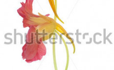 Stock-photo-studio-shot-of-orange-and-red-colored-nasturtium-flowers-isolated-on-white-background-large-depth-118916884
